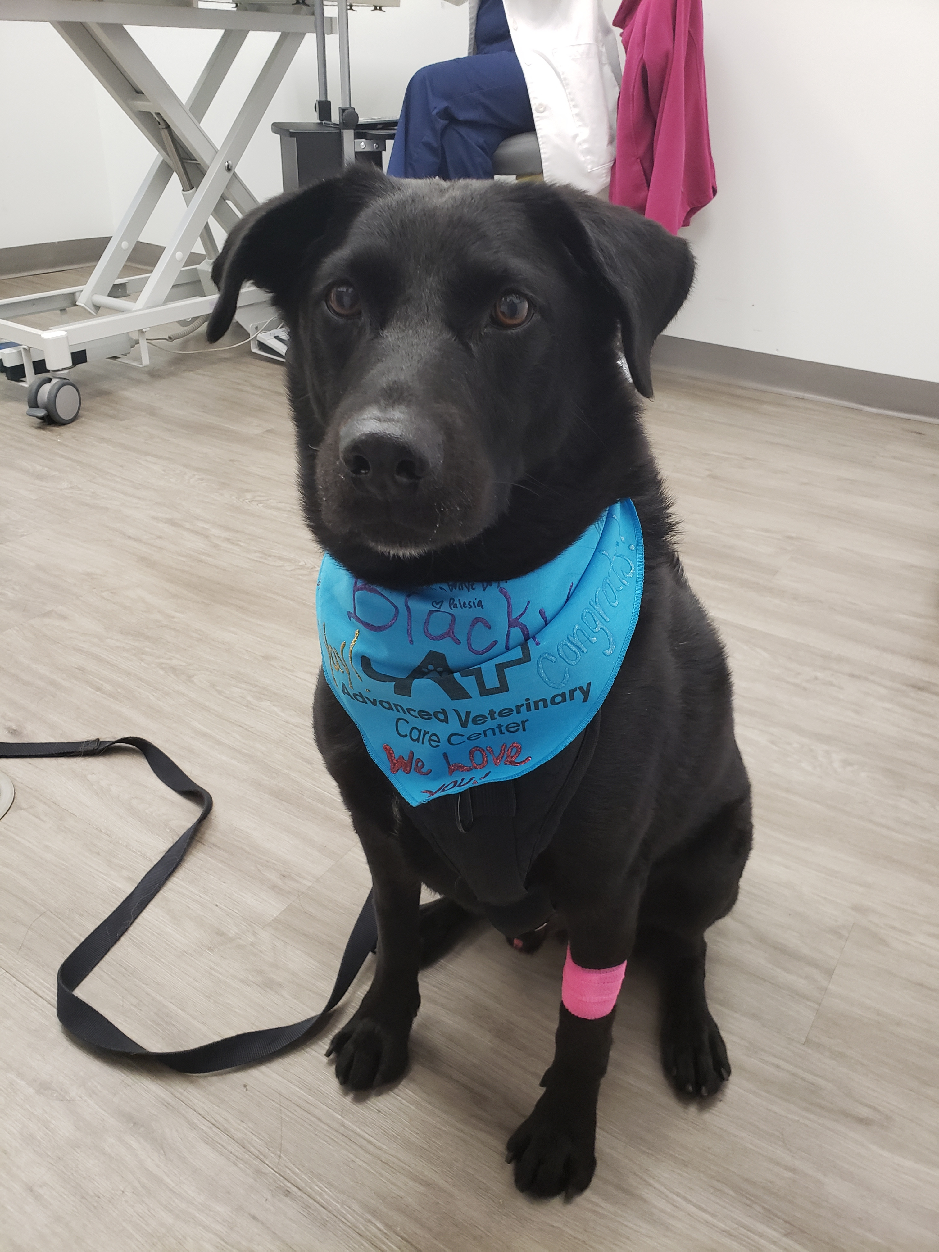 dog on his last day of chemotherapy for canine lymphoma
